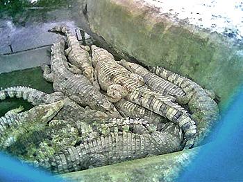 croc17.jpg